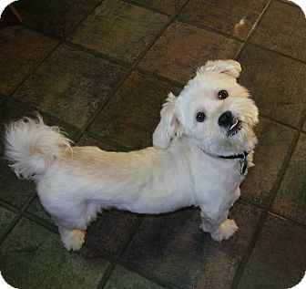 Lhasa Apso Puppy for adoption in Mt Gretna, Pennsylvania - Bud