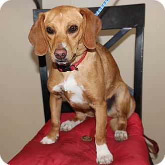 Beagle Mix Dog for adoption in Clarksville, Tennessee - Jingles
