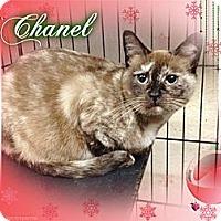 Adopt A Pet :: Chanel - Washington, DC