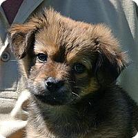 Adopt A Pet :: Bear - white settlment, TX