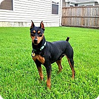 Adopt A Pet :: Maxx - Nashville, TN