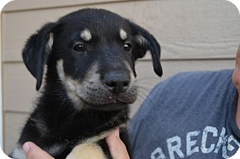 Husky/Shepherd (Unknown Type) Mix Puppy for adoption in Westminster, Colorado - Marty