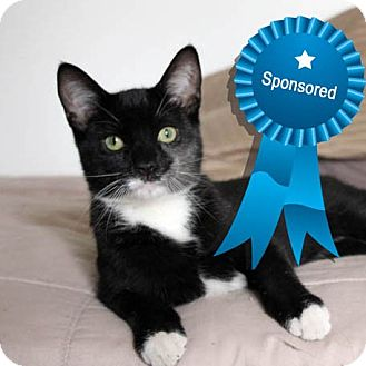 Domestic Shorthair Cat for adoption in Beverly Hills, California - James Bond