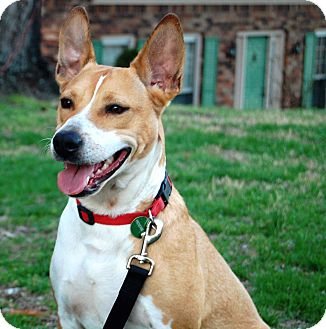 Carolina Dog Mix Dog for adoption in Salem, New Hampshire - CAMILLE