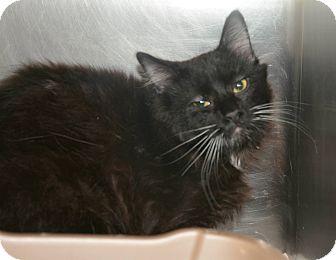 Domestic Mediumhair Cat for adoption in Jacksonville, Arkansas - Socks