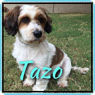 Basset Hound/Cocker Spaniel Mix Dog for adoption in Phoenix, Arizona - Tazo