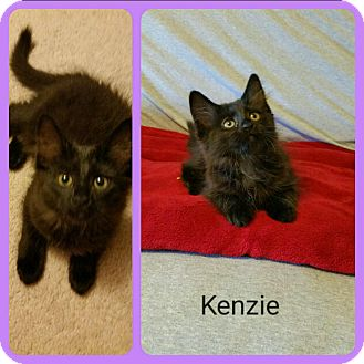 Domestic Mediumhair Kitten for adoption in Covington, Kentucky - Kenzie