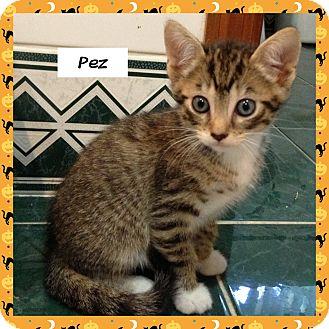 Domestic Shorthair Kitten for adoption in Miami, Florida - Pez