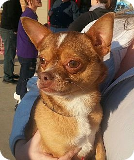 Chihuahua Mix Dog for adoption in WESTMINSTER, Maryland - Dude