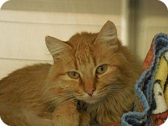 Domestic Mediumhair Cat for adoption in Wickenburg, Arizona - Apricot