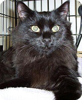 Domestic Mediumhair Cat for adoption in Wakefield, Massachusetts - Chip