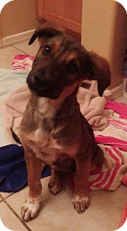 German Shepherd Dog Mix Puppy for adoption in Apache Junction, Arizona - Molly