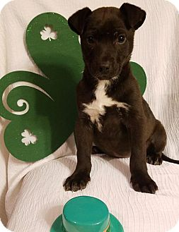 Labrador Retriever Mix Puppy for adoption in Elkton, Maryland - River