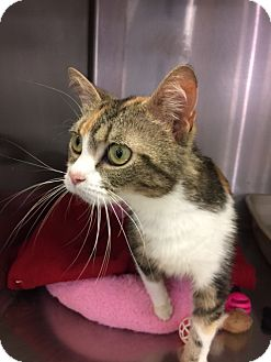Domestic Shorthair Cat for adoption in Cincinnati, Ohio - Snuckers