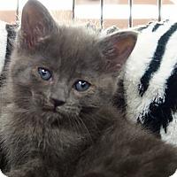 Adopt A Pet :: Gandalf - River Edge, NJ