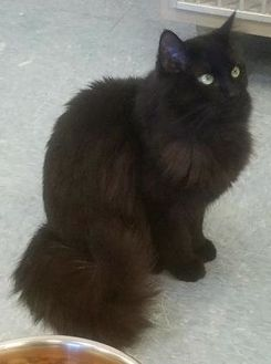 Domestic Longhair/Domestic Shorthair Mix Cat for adoption in Buffalo, Wyoming - Midnight