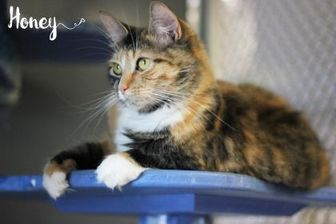 Domestic Shorthair/Domestic Shorthair Mix Cat for adoption in Greenville, North Carolina - Honey