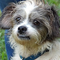 Adopt A Pet :: Opie (20 lb) Sweetheart - Niagara Falls, NY