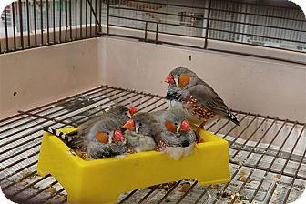 Finch for adoption in Elizabeth, Colorado - Newberry