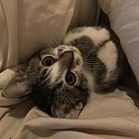 Adopt A Pet :: McLaren - St. Louis, MO