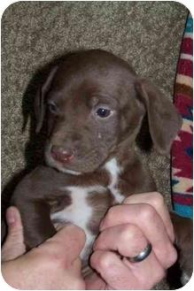 Labrador Retriever Mix Puppy for adoption in Salem, Massachusetts - Santa's Pups 1