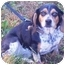 Photo 1 - Beagle Dog for adoption in Osseo, Minnesota - Sally and Sam