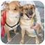 Photo 2 - Golden Retriever/Shar Pei Mix Dog for adoption in Richmond, Virginia - Buddy