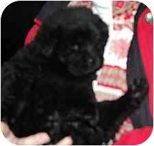 Newfoundland/Norwegian Elkhound Mix Puppy for adoption in Blackstone, Virginia - Ginger