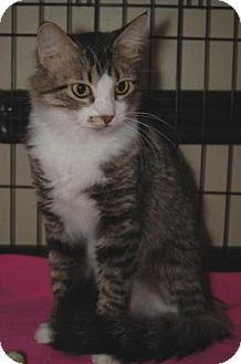 Domestic Longhair Cat for adoption in Houston, Texas - Piper