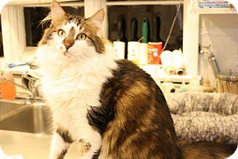Domestic Longhair Cat for adoption in Morristown, New Jersey - Casper