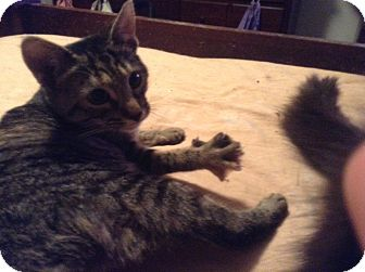 Domestic Shorthair Cat for adoption in Pittstown, New Jersey - Vertigo