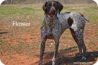 German Shorthaired Pointer Mix Dog for adoption in Danielsville, Georgia - Flower