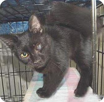 Domestic Mediumhair Kitten for adoption in Miami, Florida - Ray