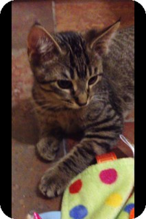 Domestic Shorthair Cat for adoption in Walker, Louisiana - Fiona