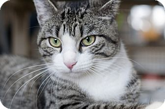 Domestic Shorthair Cat for adoption in Manahawkin, New Jersey - Pebbles