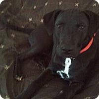 Adopt A Pet :: Duchess - Garwood, NJ