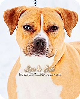 American Pit Bull Terrier Mix Dog for adoption in Charles City, Iowa - Roxie