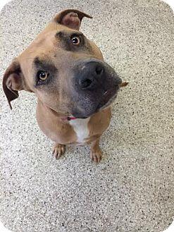Pit Bull Terrier/Labrador Retriever Mix Dog for adoption in St Clair Shores, Michigan - Athena