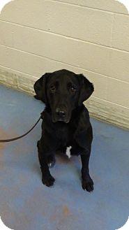 Labrador Retriever Mix Dog for adoption in Billings, Montana - Darby