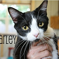 Domestic Shorthair Cat for adoption in Wichita Falls, Texas - Carley