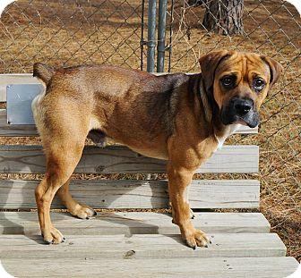 English Bulldog/Boxer Mix Dog for adoption in Murphysboro, Illinois - Marvin the Martian