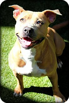 Pit Bull Terrier Mix Dog for adoption in Ft. Lauderdale, Florida - Lola
