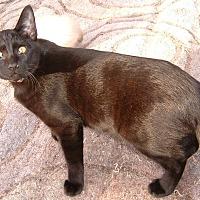 Domestic Shorthair Cat for adoption in Farmington, Arkansas - Eli