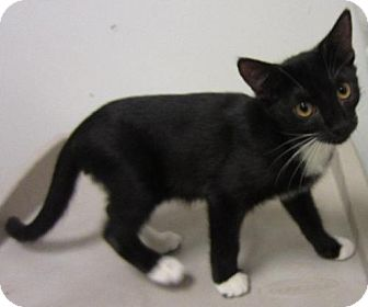 Domestic Mediumhair Kitten for adoption in Tallahassee, Florida - Jackie Chan