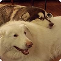 Adopt A Pet :: Giant Glacier - Augusta County, VA