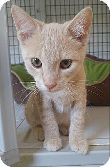 Domestic Shorthair Kitten for adoption in Bryson City, North Carolina - Miles