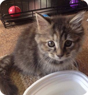 Domestic Shorthair Kitten for adoption in Evans, West Virginia - Harper