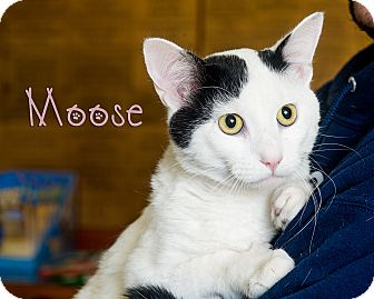 Domestic Shorthair Cat for adoption in Somerset, Pennsylvania - Moose