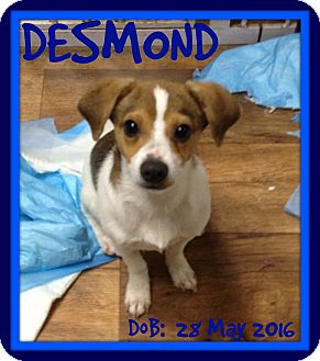 Jack Russell Terrier/Terrier (Unknown Type, Small) Mix Dog for adoption in Albany, New York - DESMOND
