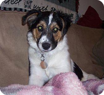 Australian Shepherd Mix Puppy for adoption in Winfield, Pennsylvania - Rosey/Sadie